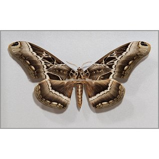 Saturnidae Dactylocerus lucina M A1- Cameroon