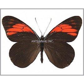 Nymphalidae Pereute callinara M A1 Peru