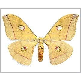 Saturnidae Antheraea frithi pedonculata F A1 Thailand