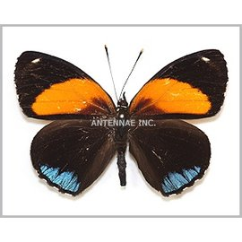 Nymphalidae Callicore eunomia f. eunomia M A1 Bolivia