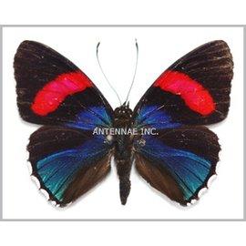 Nymphalidae Callicore hesperis M A1 Peru