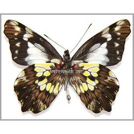 Pieridae Leodonta zenobina zenobina M A1 Peru