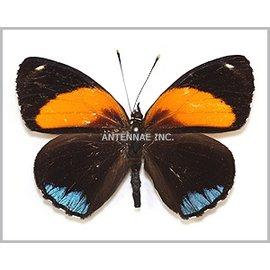 Nymphalidae Callicore eunomia f. eunomia M A1 Peru