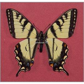 Papilionidae Papilio canadensis M A1 Canada