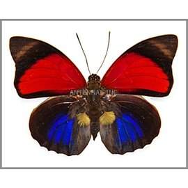 Nymphalidae Agrias claudina lugina M A1 Bolivia