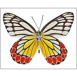 Pieridae Delias eucharis F A1 Sri Lanka