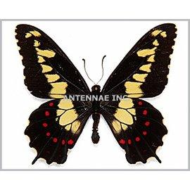 Papilionidae Euryades duponchelli M A1 Argentina