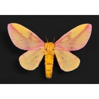 Saturnidae Dryocampa rubicunda PAIR EP USA