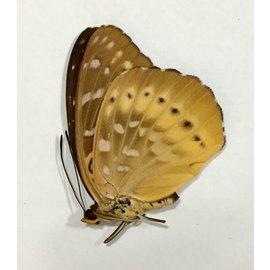 Nymphalidae Lexias panopus ssp. M A1 Philippines
