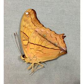 Nymphalidae Vindula dejone dejone M A1 Philippines