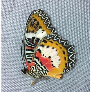 Nymphalidae Cethosia hypsea mindanensis M A1 Philippines