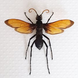 Hymenoptera Pepsis grossa A1 Mexico - 6.0-6.4 cm