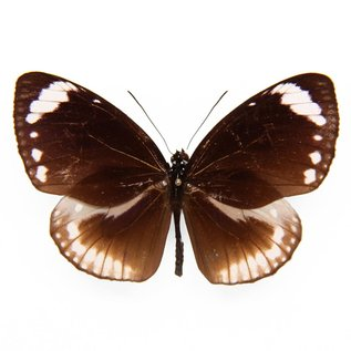 Danaidae Euploea MIX M A1 Indonesia