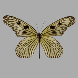 Danaidae Idea electra electra M A1 Philippines