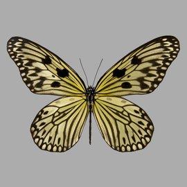 Danaidae Idea electra electra PAIR A1 Philippines