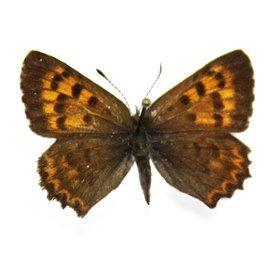 Lycaenidae Lycaena mariposa penrosae PAIR A1 Canada