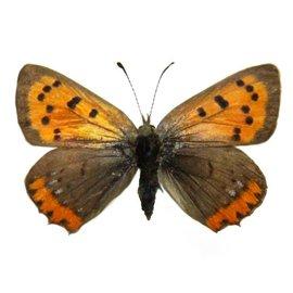 Lycaenidae Lycaena phlaeas arethusa PAIR A1 Canada