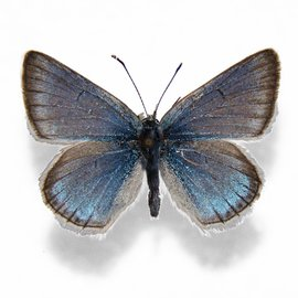 Lycaenidae Plebejus saepiolus amica M A1 Canada