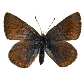 Lycaenidae Plebejus saepiolus amica F A1 Canada