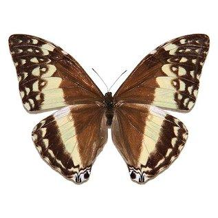 Morphidae Morpho adonis huallaga M A1 Peru
