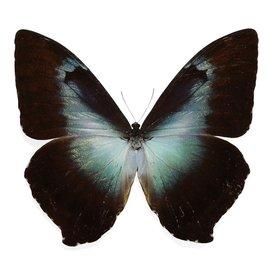Morphidae Morpho cisseis gahua - blue form M A1 Peru