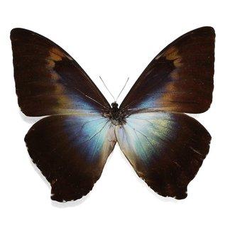 Morphidae Morpho cisseis gahua/phadena - blue/orange-combined form M A1 Peru