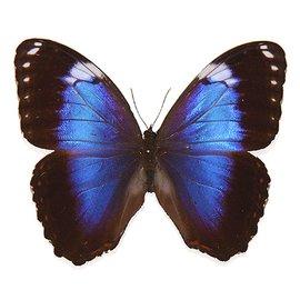 Morphidae Morpho achillieana violacea M A1 Brazil