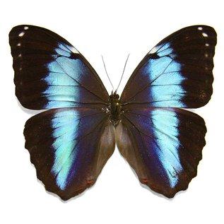 Butterflies Morpho achilles fagardii- 3M - A1 Peru