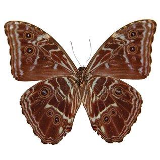 Morphidae Morpho deidamia deidamia M A1 Guyana