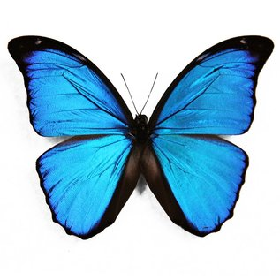 Morphidae Morpho menelaus menelaus M A1 Guyana