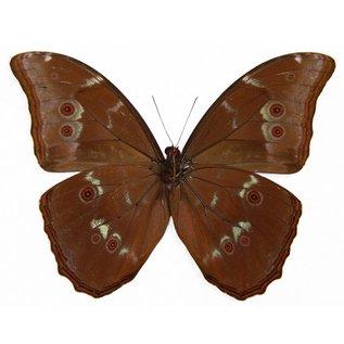 Morphidae Morpho menelaus menelaus M A1/A1- Guyana