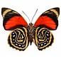 Nymphalidae Agrias amydon tryphon M A1- Peru