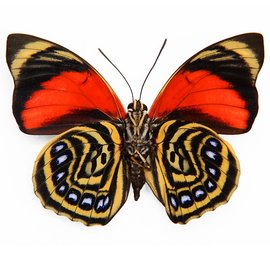 Nymphalidae Agrias amydon tryphon M A1/A1- Peru