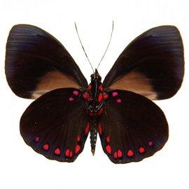 Nymphalidae Hamadryas laodamia laodamia M A1 Peru
