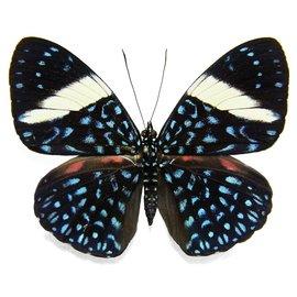Nymphalidae Hamadryas laodamia laodamia PAIR A1 Peru