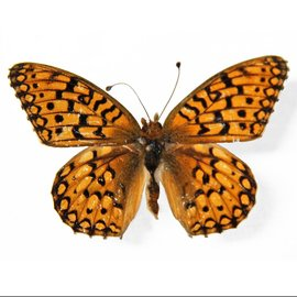 Nymphalidae Speyeria callippe calgeriana PAIR A1 Canada