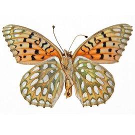 Nymphalidae Speyeria callippe calgeriana M A1 Canada