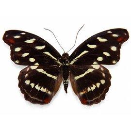 Nymphalidae Catonephele selambria F A1 Bolivia
