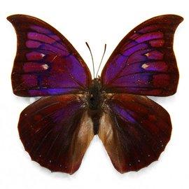 Nymphalidae Anaea tyrianthina F A1 Peru