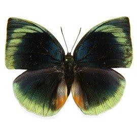 Nymphalidae Memphis (=Anaea) dia divina M A1