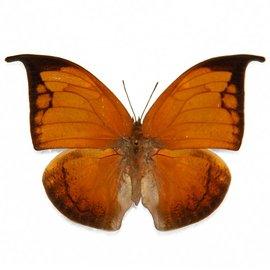 Nymphalidae Anaea archidona F A1 Peru