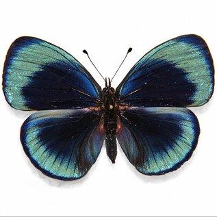 Butterflies Asterope leprieuri philotina ( = A. optima philotina) - 3M - A1 Peru