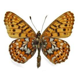 Nymphalidae Boloria astarte astarte M A1- Canada