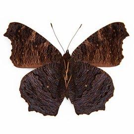 Nymphalidae Roddia (Nymphalis) milberti furcillata PAIR A1 Canada