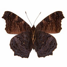 Nymphalidae Roddia (Nymphalis) milberti furcillata M A1/A1- Canada