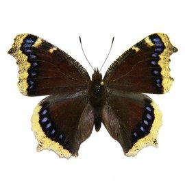 Nymphalidae Nymphalis antiopa hyperborea F A1- Canada