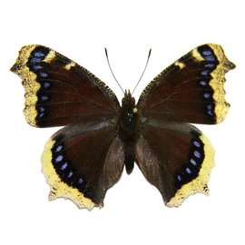 Nymphalidae Nymphalis antiopa hyperborea M A1- Canada
