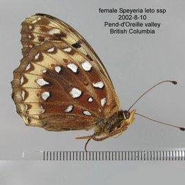 Nymphalidae Speyeria cybele leto M A1 Canada