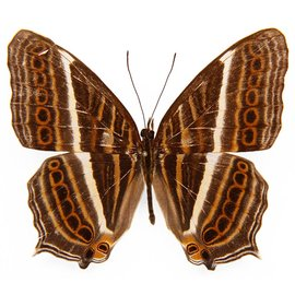 Nymphalidae Cyrestis acilia gades M A1 Indonesia