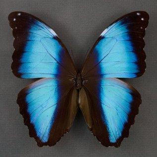 Morphidae Morpho deidamia neoptolemus M A1 Peru